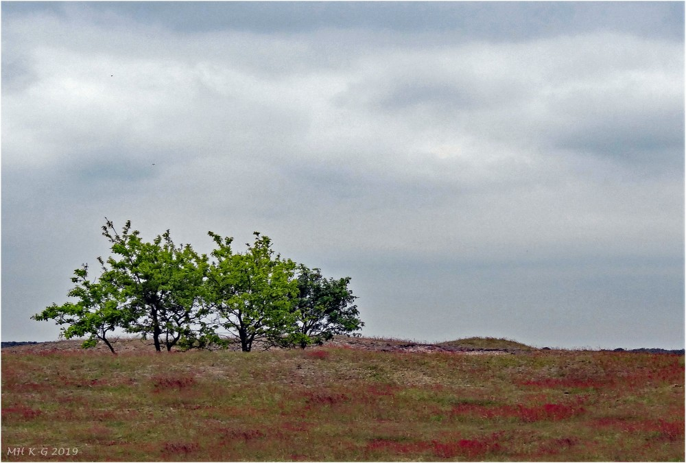 Lonely trees in the dunes