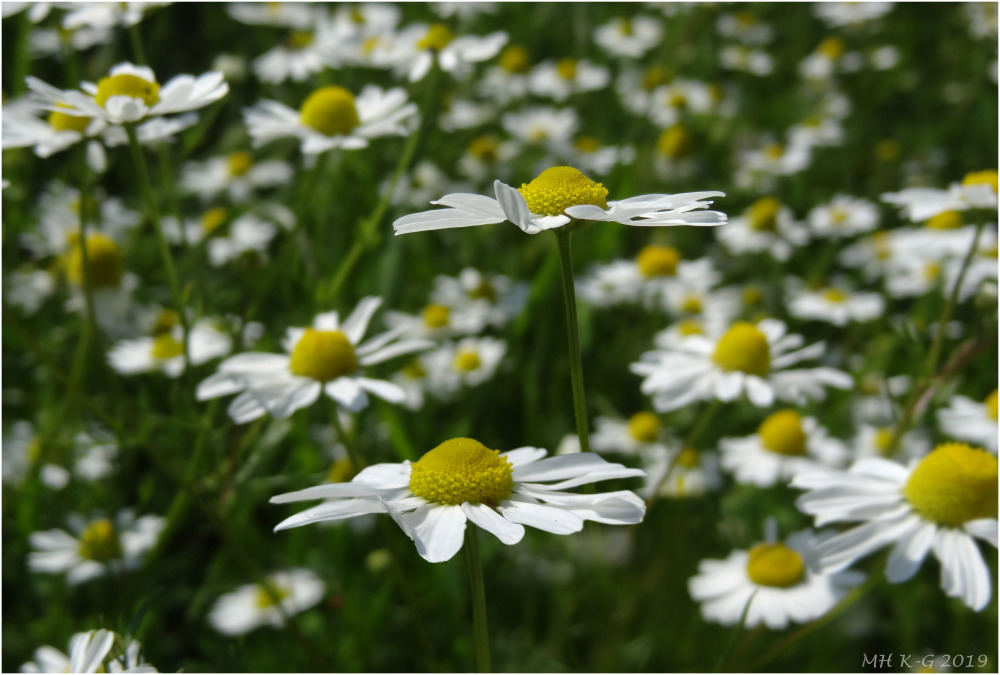 Summer wild flowers : Camomile