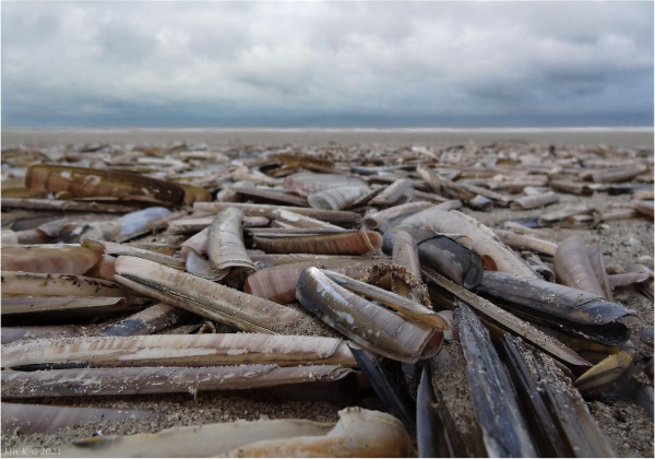 The trail leads me to thousand razor shells/ensis