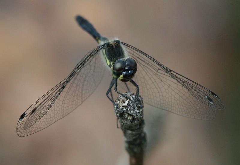 Black dragonfly