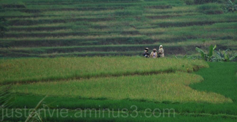 Les rizières (2)