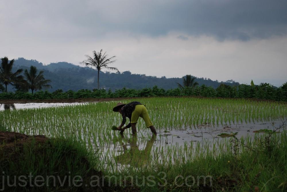 Les rizières (3)