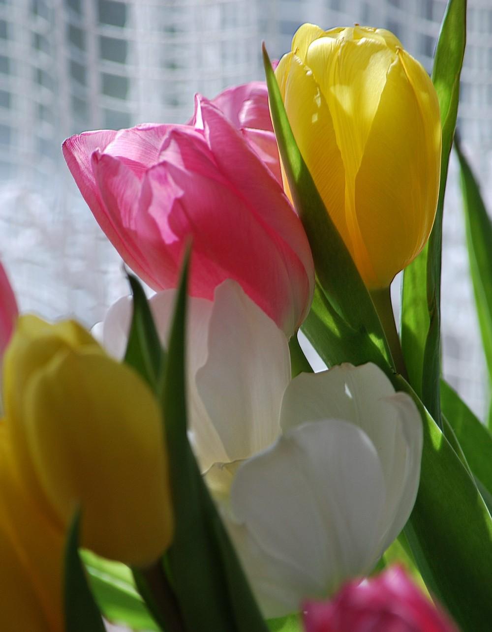 Douceur des tulipes