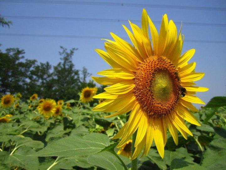 Joys of sun flowers