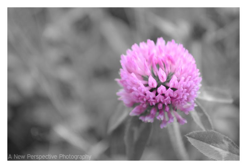 A wonderful pink clover on Unalaska Island