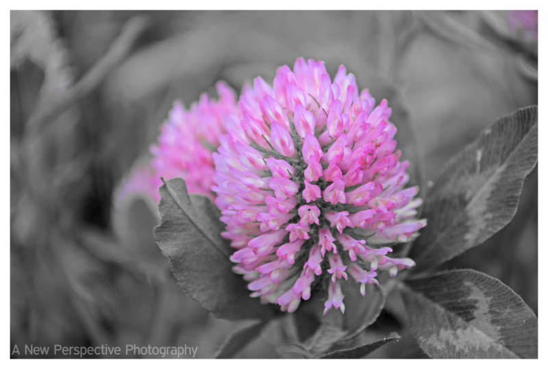 Pink Clover flower in selective color
