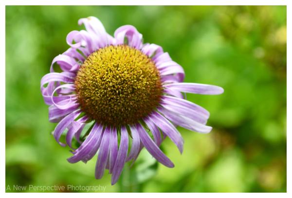 A little purple flower on Unalaska Island