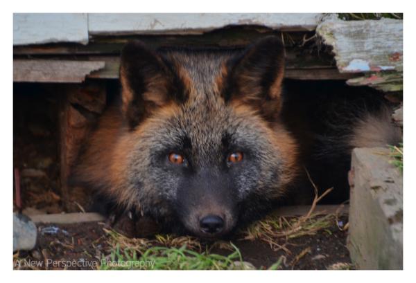 Unalaska Fox