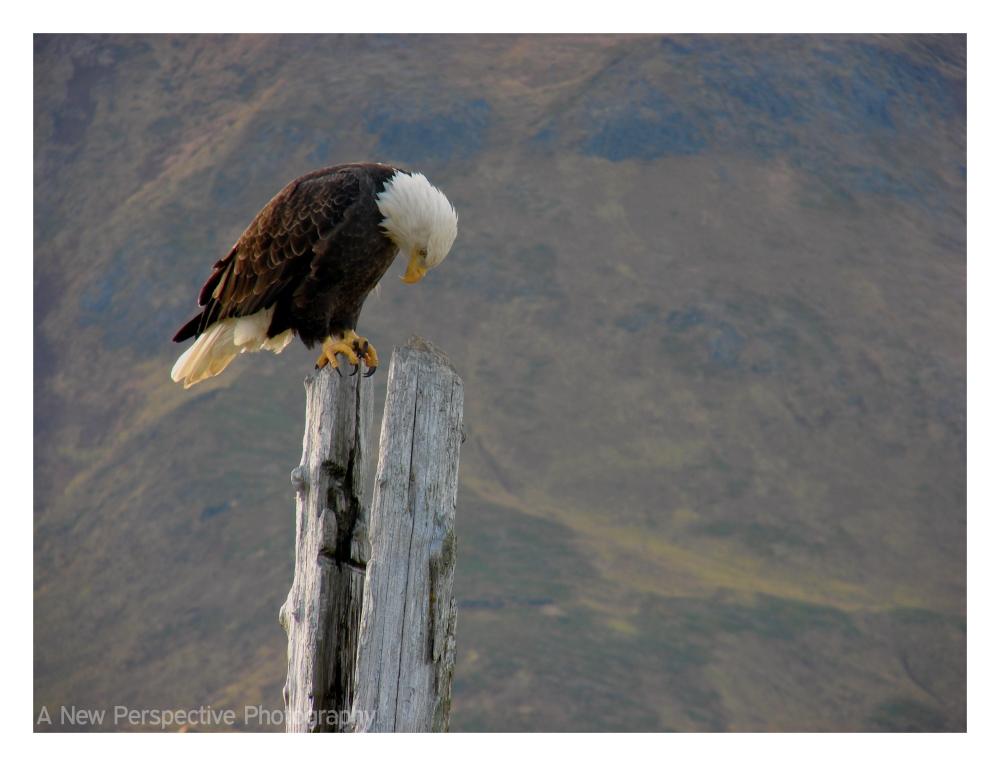 Unalaska Eagle