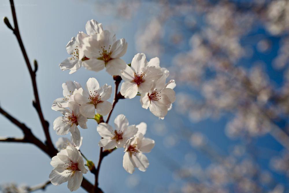 cherrryblossom flowers leica blue
