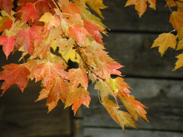 Autumn Maple Leaves, Orange and Yellow by the shed