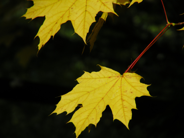Two Maple Leaves on a Dark Background