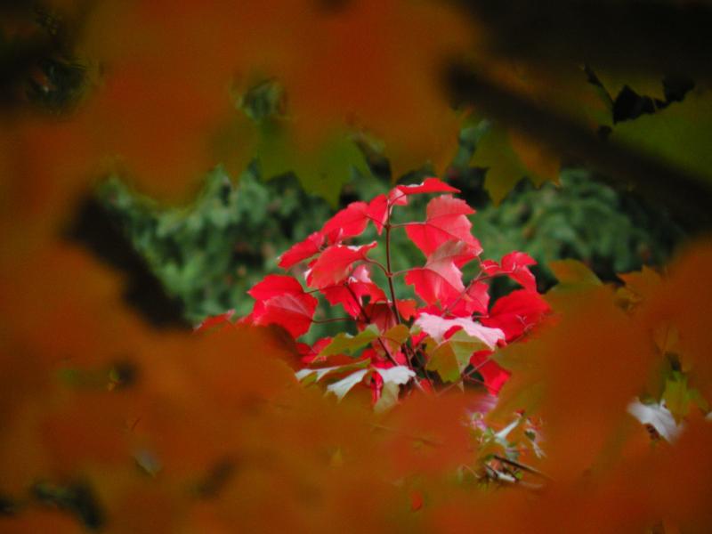 Red Maple Window