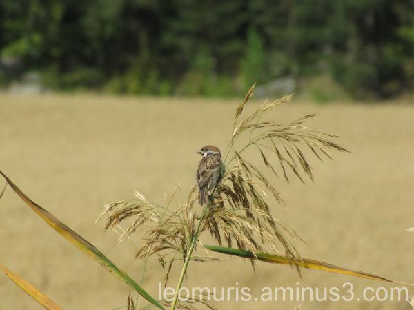 Lint heinässä