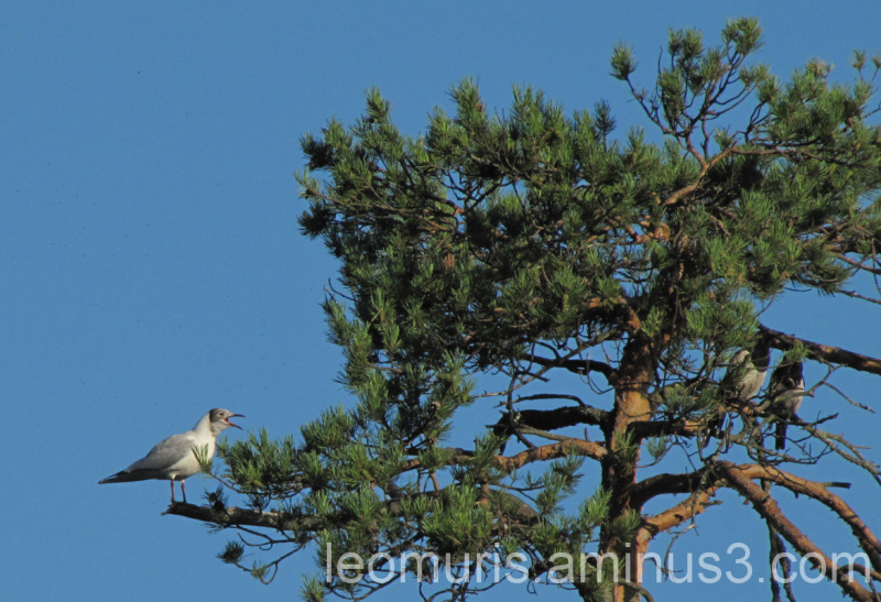 Seagull and crows in the wood