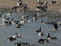 Geese on the beach, Hanhia rannalla