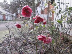 Jäätynyt ruusu, frozen rose.