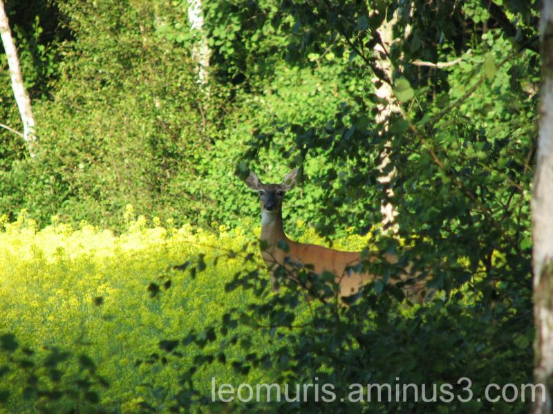Kauris puun takana, The Capricorn behind the wood