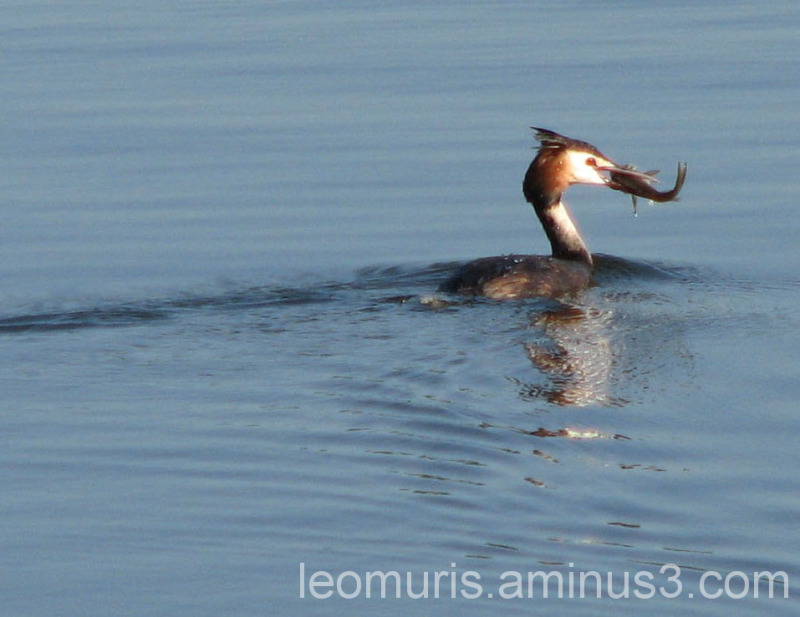 Silkkiuikku, Great Crested Grebe