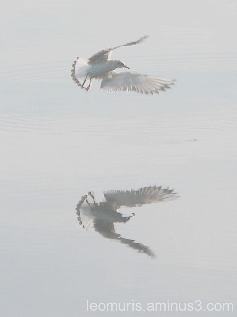 Lokki lentää, seagull is flying