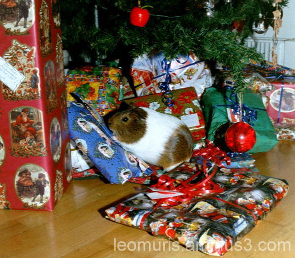 Marsu kuusen alla, guinea pig under the tree.