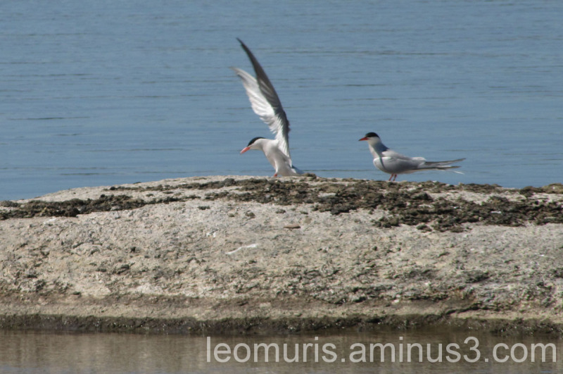 Tiirat kalliolla, terns on the rock