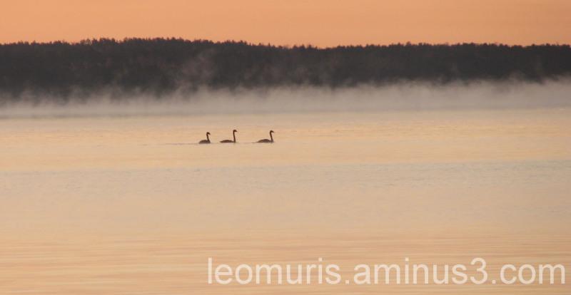 Joutsenia aamuruskossa, Swans in the sunrise