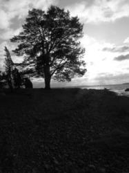 Vanha puu tuulessa, old tree in the wind.