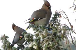Lintuja puussa, birds in the wood