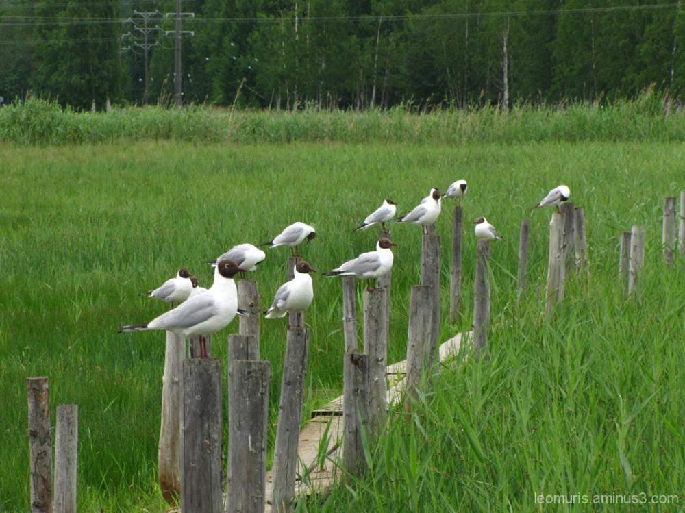 Naurulokkeja, Black-headed Gulls