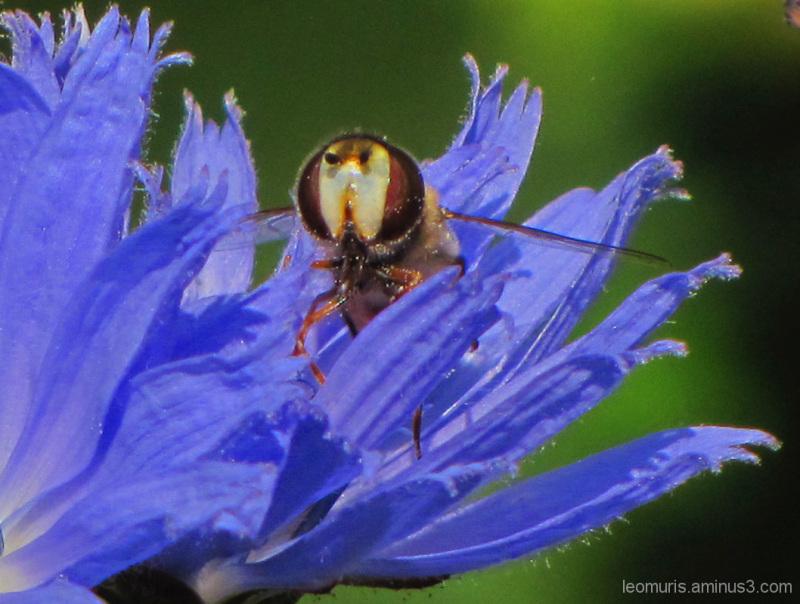 Kukkakärpänen sikurissa Flower Fly on Chicory