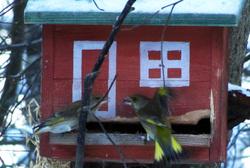 Kaksi vierpeippoa - two greenfinch