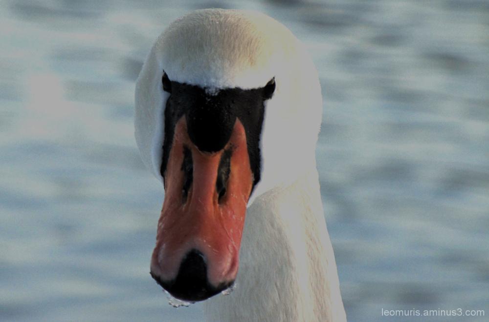 Joutsen,swan