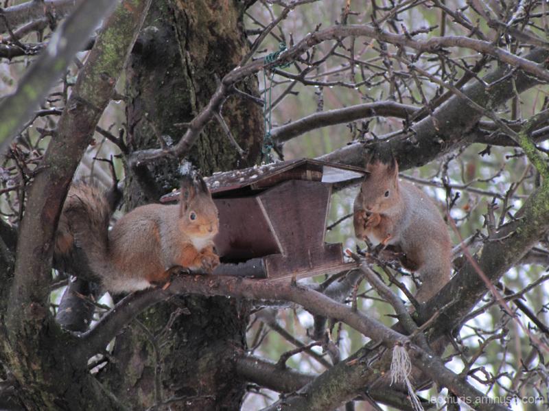 kaksi oravaa - two squirrels