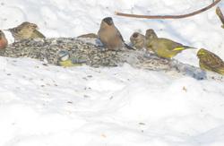 Lintuja ruokinnalla  - Feeding the birds.