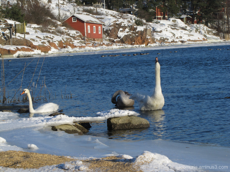 Kolme joutsenta - three swans