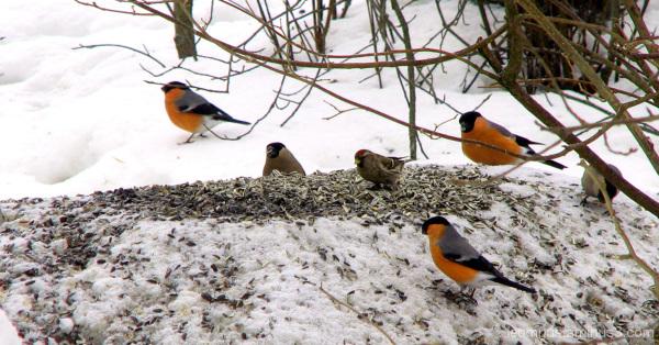 Lintuja, birds