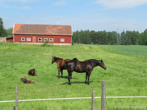 Tammoja ja varsoja - Mares and foals
