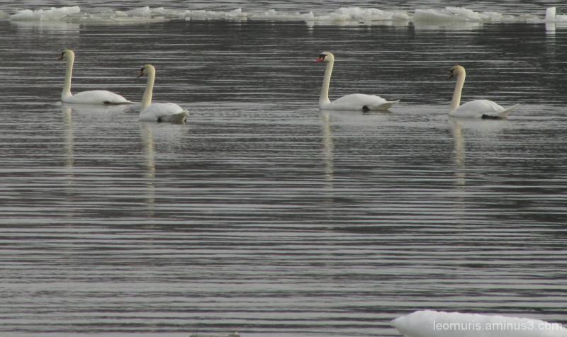 Joutsenia - the swans