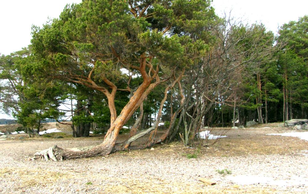 Vanha puu - old tree