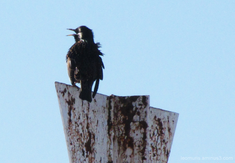Kottarainen - starling