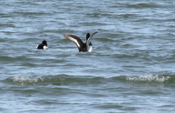 Linnut, birds, kevät, spring, meri, sea