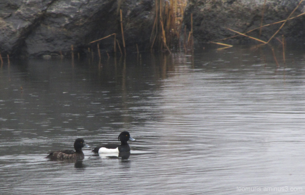 Kaksi tukkasotkaa - The two tufted ducks.