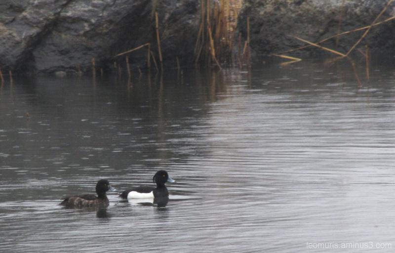 Kaksi tukkasotkaa - The two tufted ducks.