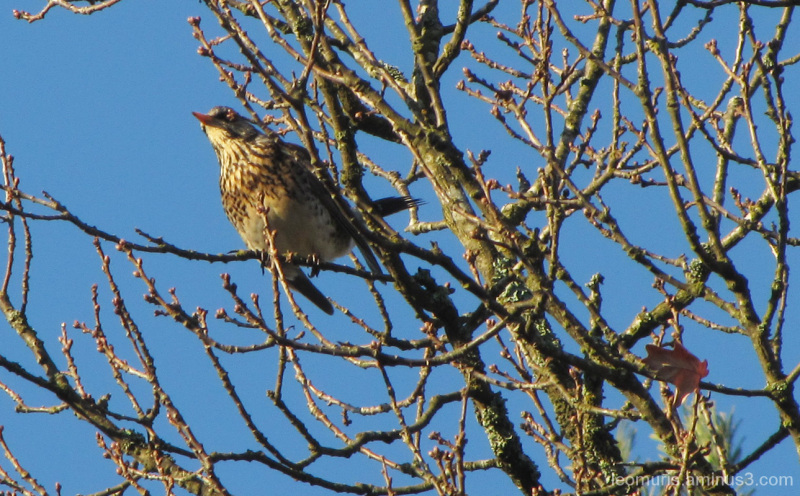 The buds and fieldfare.