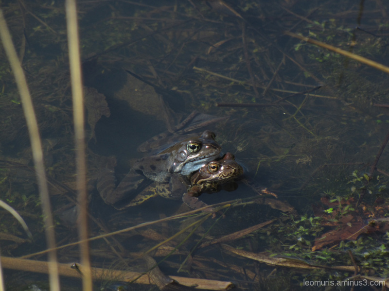 sammakot - frogs