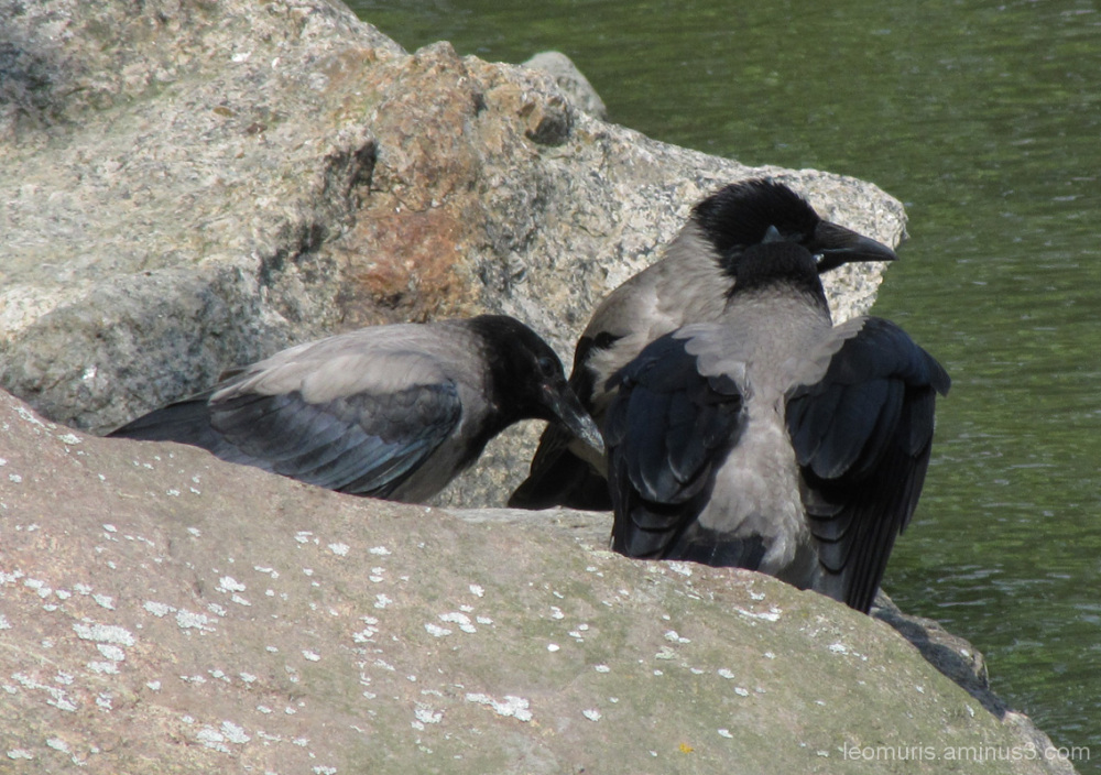 Kolme  lintua - three birds