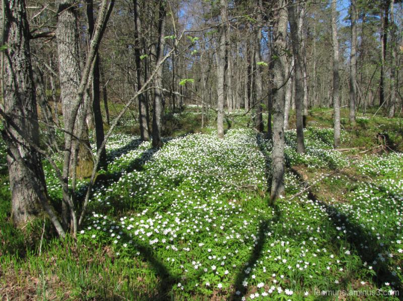 Kukkia metsässä - Flowers inteh forest