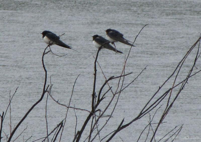 Kolme lintua - thre birds
