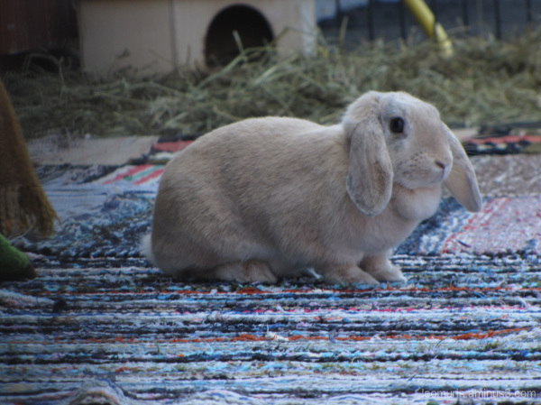 Luppakorva - Floppy ears